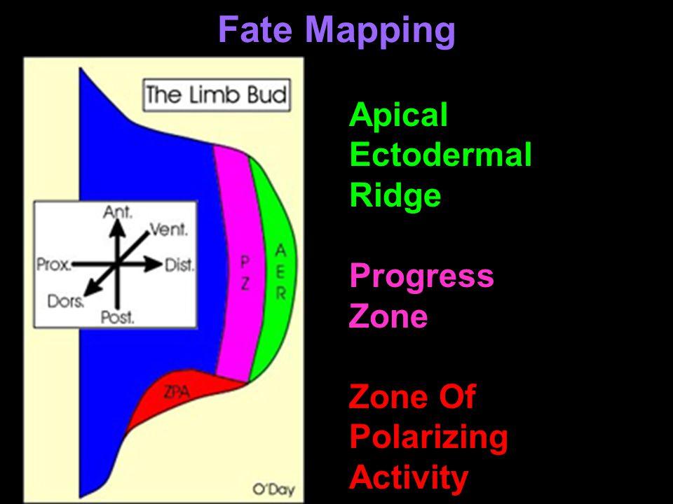 Fate Mapping Apical Ectodermal Ridge Progress Zone Zone Of Polarizing