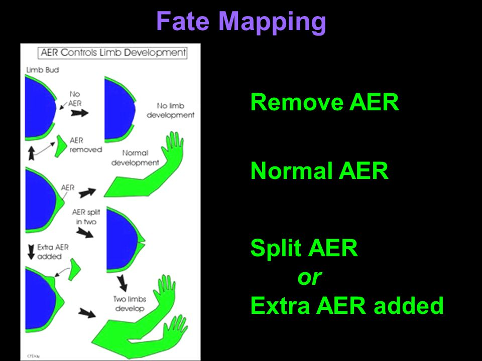 Fate Mapping Remove AER Normal AER Split AER or Extra AER added
