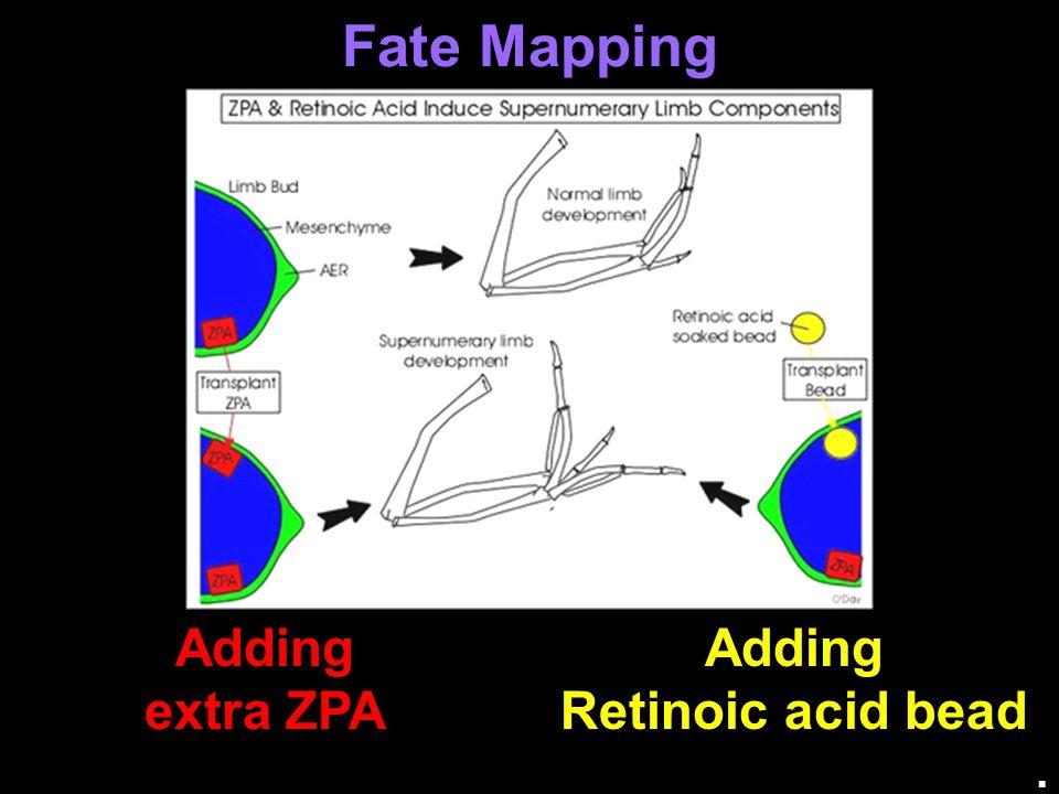 Fate Mapping Adding extra ZPA Adding Retinoic acid bead .