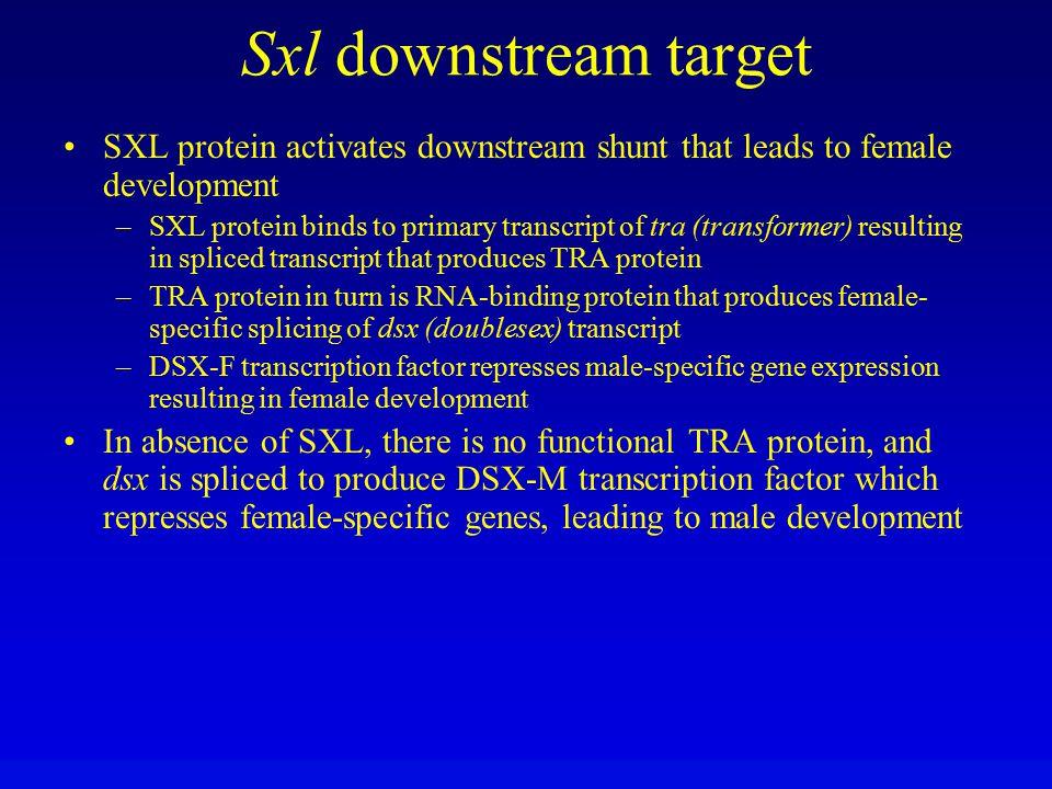 Sxl downstream target SXL protein activates downstream shunt that leads to female development.