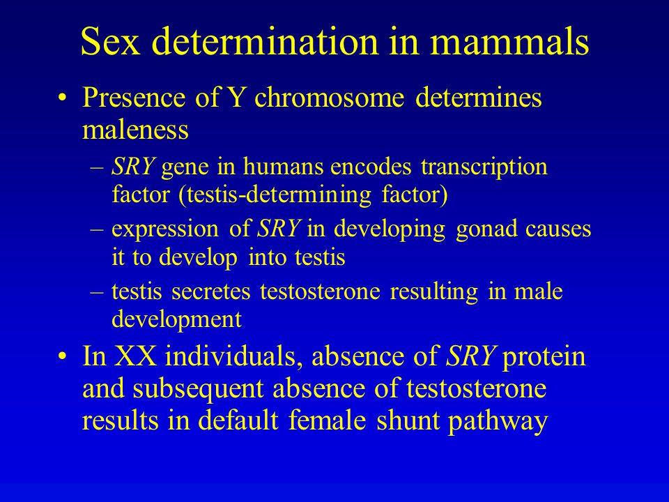 Sex determination in mammals