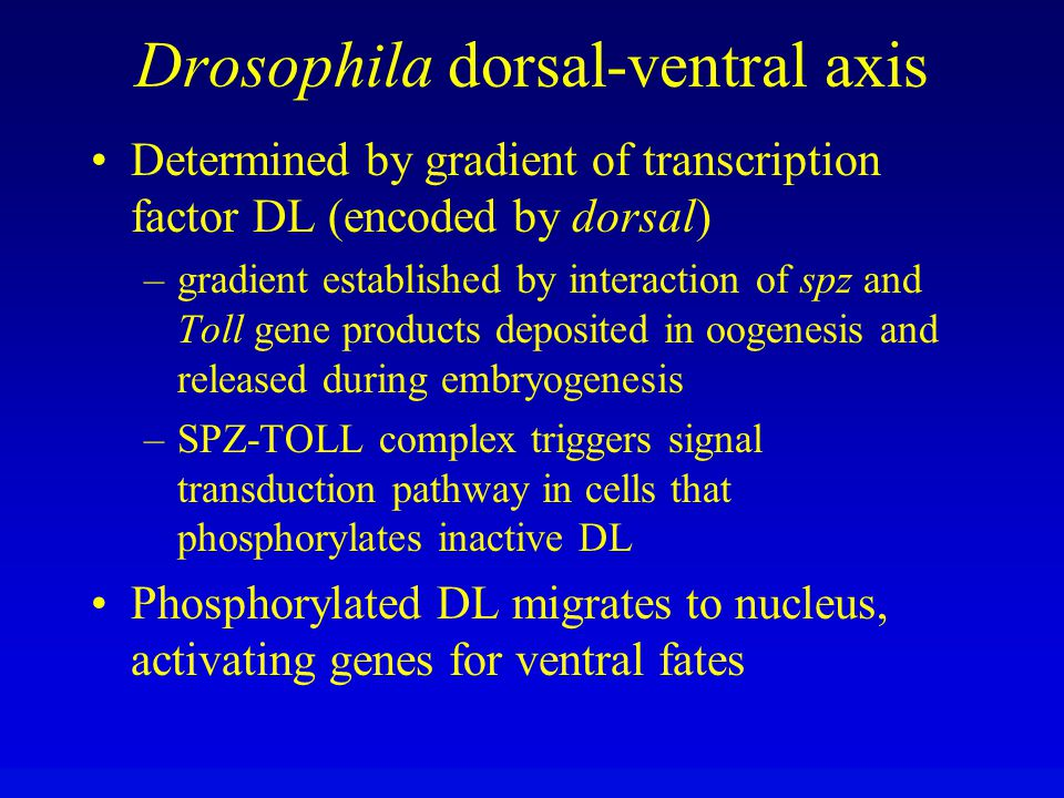 Drosophila dorsal-ventral axis