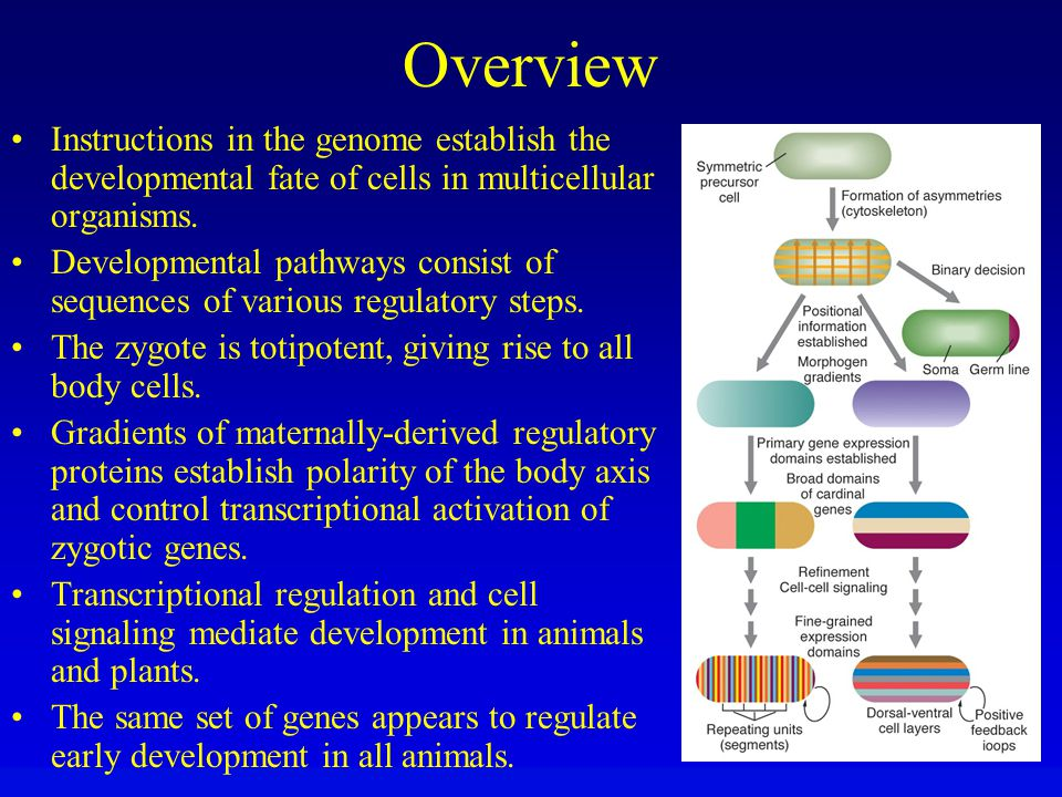 Overview Instructions in the genome establish the developmental fate of cells in multicellular organisms.