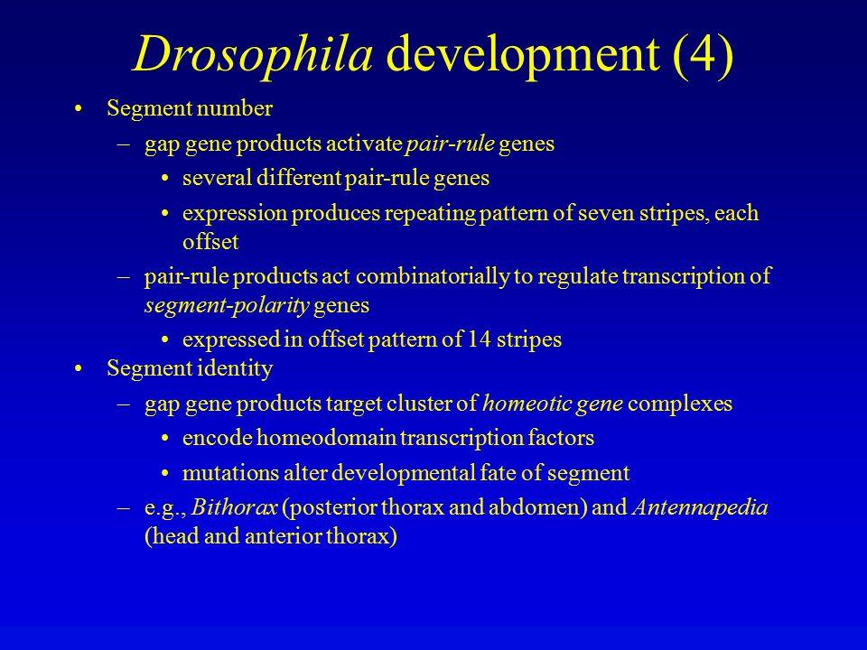 Drosophila development (4)