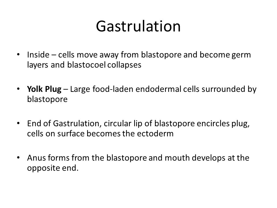 Gastrulation Inside – cells move away from blastopore and become germ layers and blastocoel collapses.