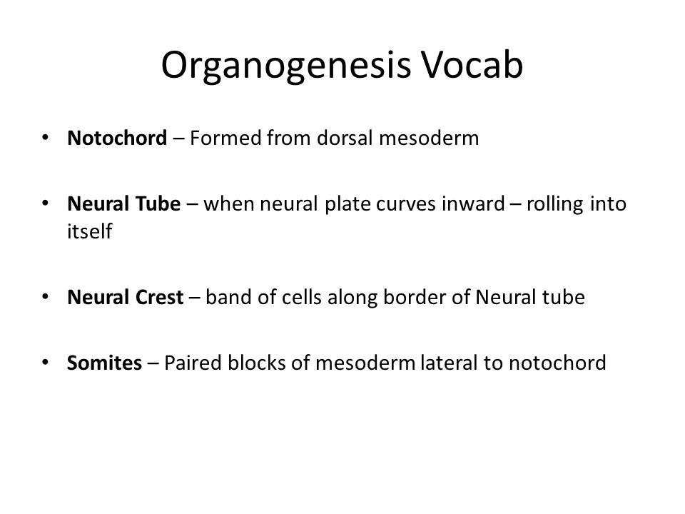 Organogenesis Vocab Notochord – Formed from dorsal mesoderm