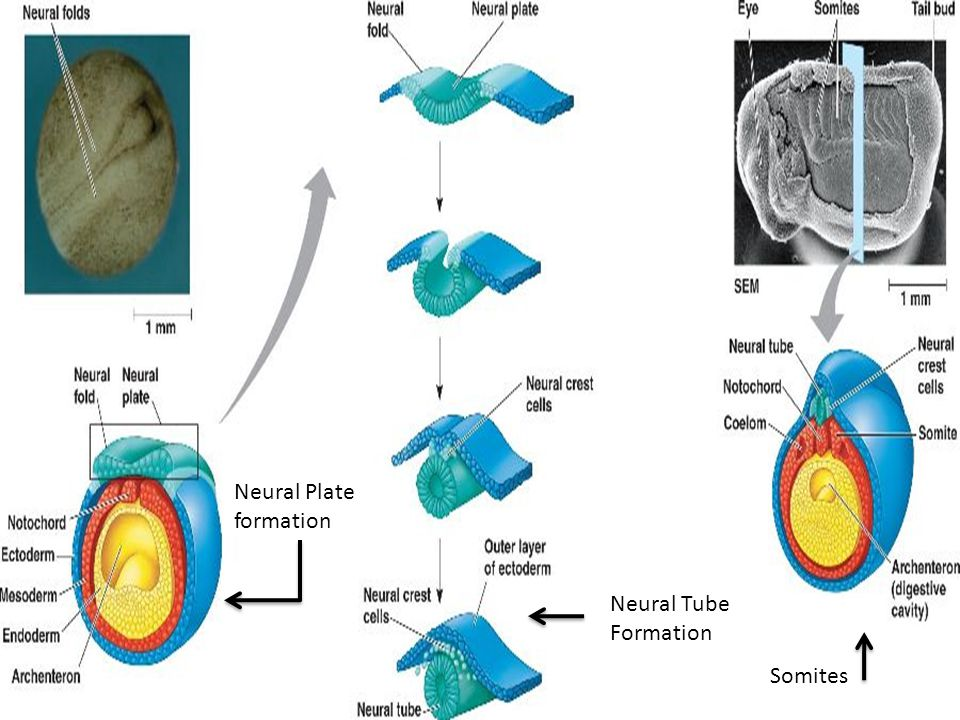 Neural Plate formation