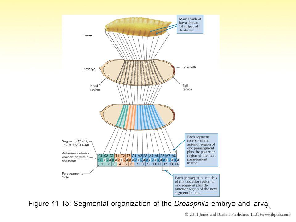 Figure 11.15: Segmental organization of the Drosophila embryo and larva