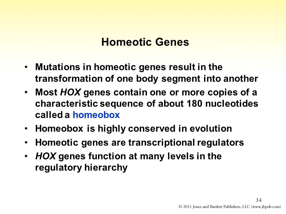 Homeotic Genes Mutations in homeotic genes result in the transformation of one body segment into another.