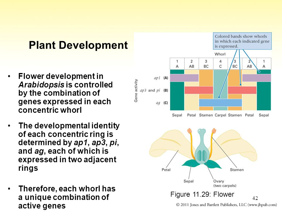 Plant Development Flower development in Arabidopsis is controlled by the combination of genes expressed in each concentric whorl.