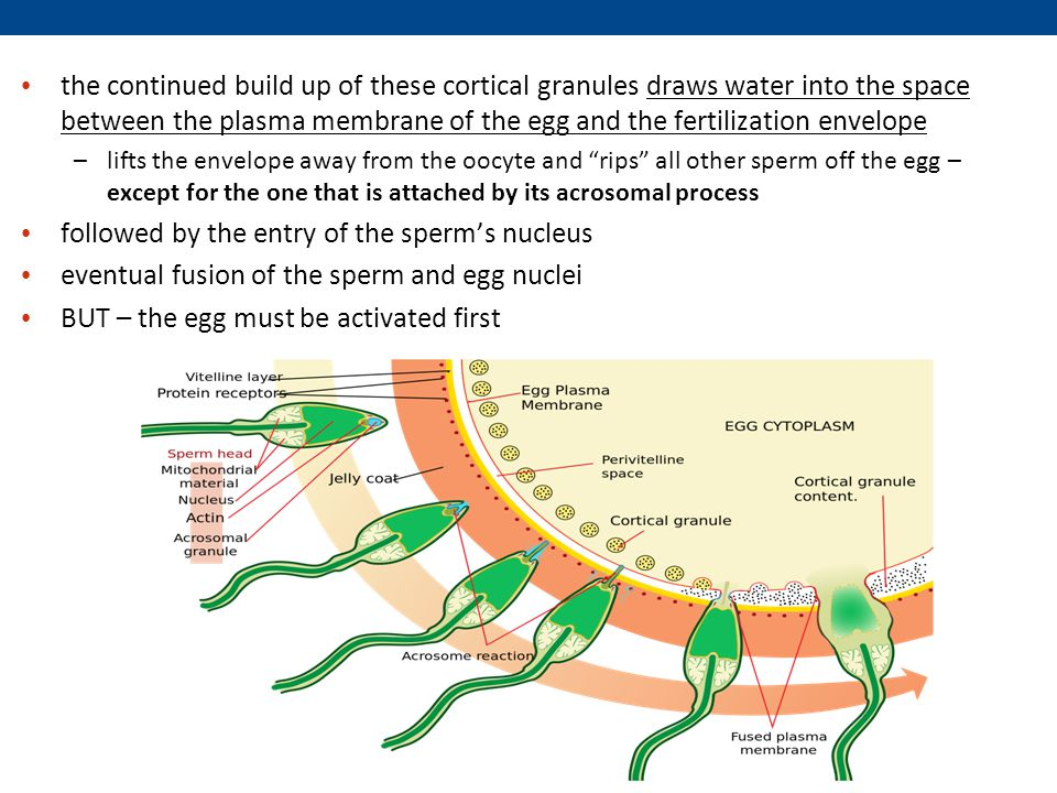 followed by the entry of the sperm's nucleus