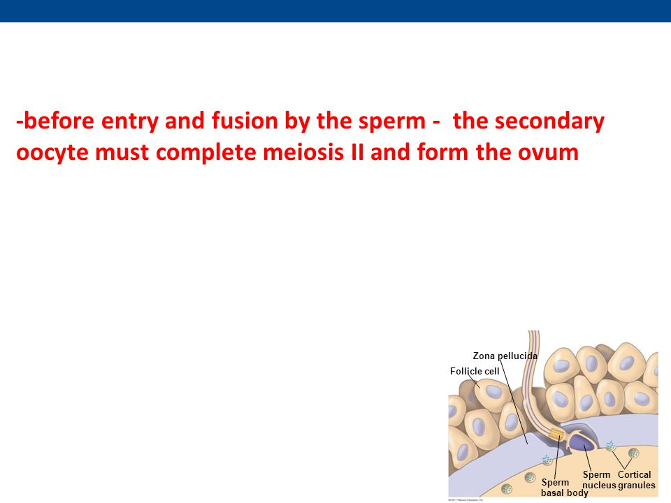 -before entry and fusion by the sperm - the secondary oocyte must complete meiosis II and form the ovum