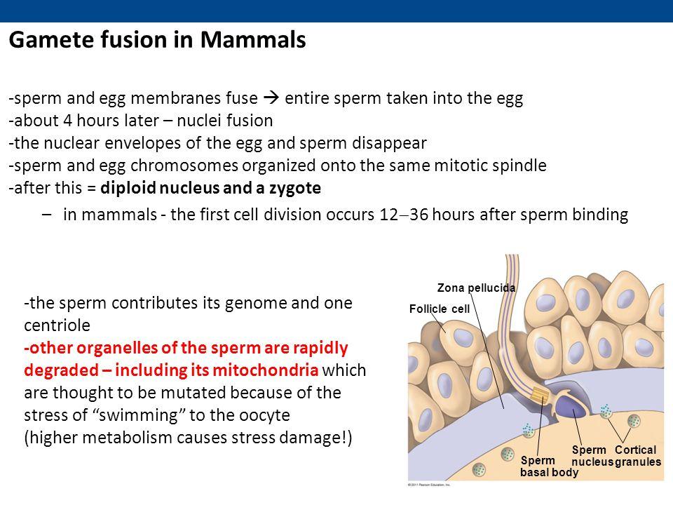 Gamete fusion in Mammals