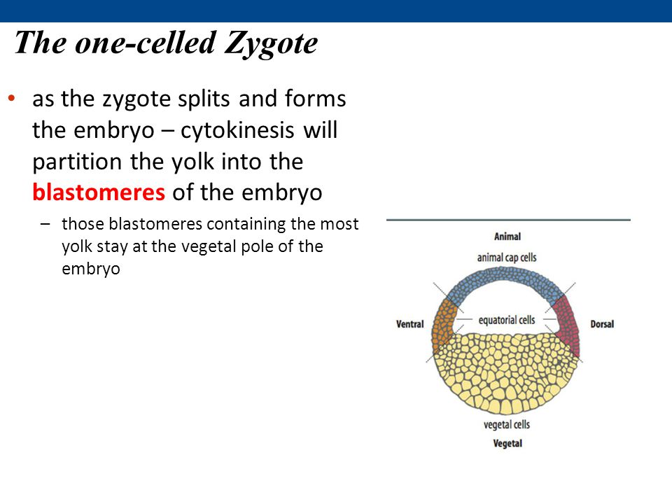 The one-celled Zygote as the zygote splits and forms the embryo – cytokinesis will partition the yolk into the blastomeres of the embryo.
