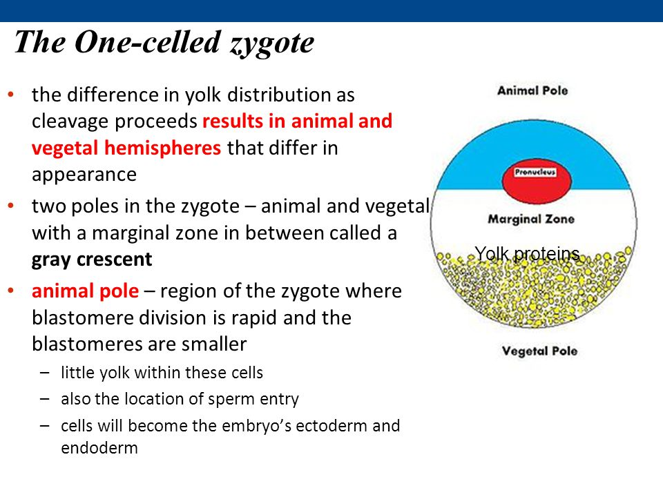 The One-celled zygote the difference in yolk distribution as cleavage proceeds results in animal and vegetal hemispheres that differ in appearance.