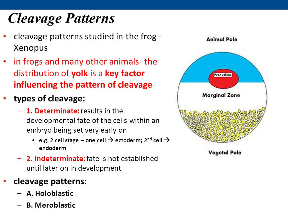 Cleavage Patterns cleavage patterns studied in the frog - Xenopus