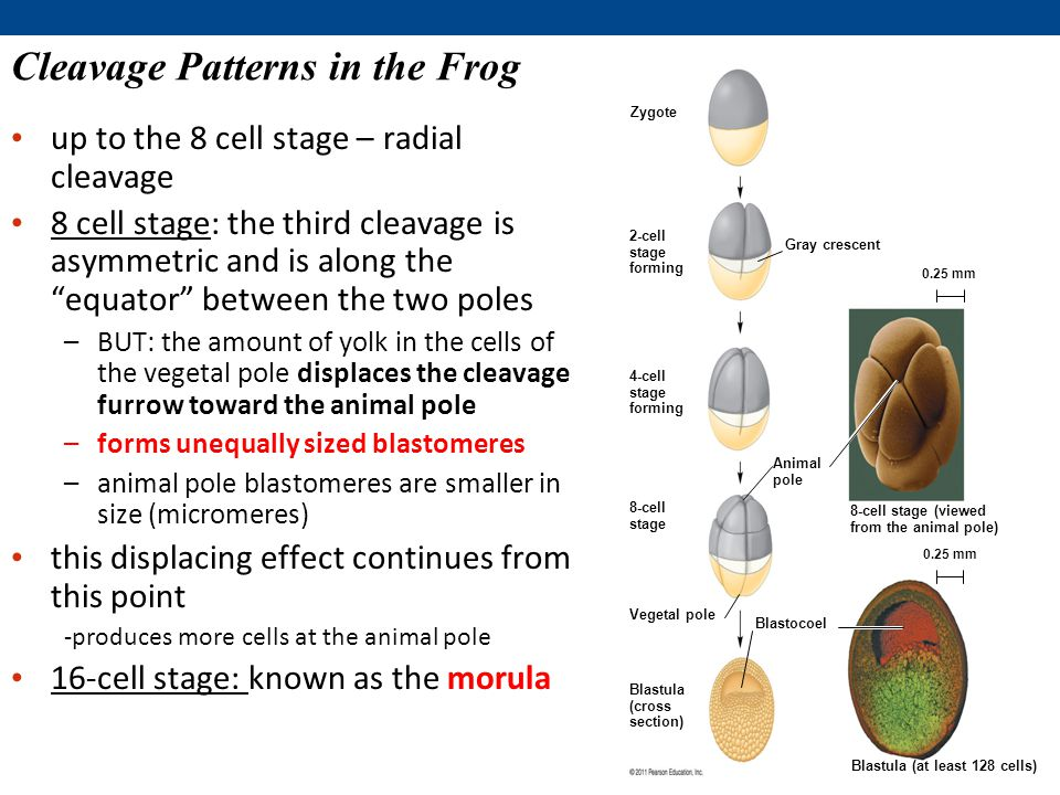 Cleavage Patterns in the Frog