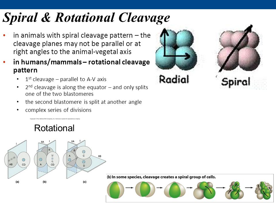 Spiral & Rotational Cleavage