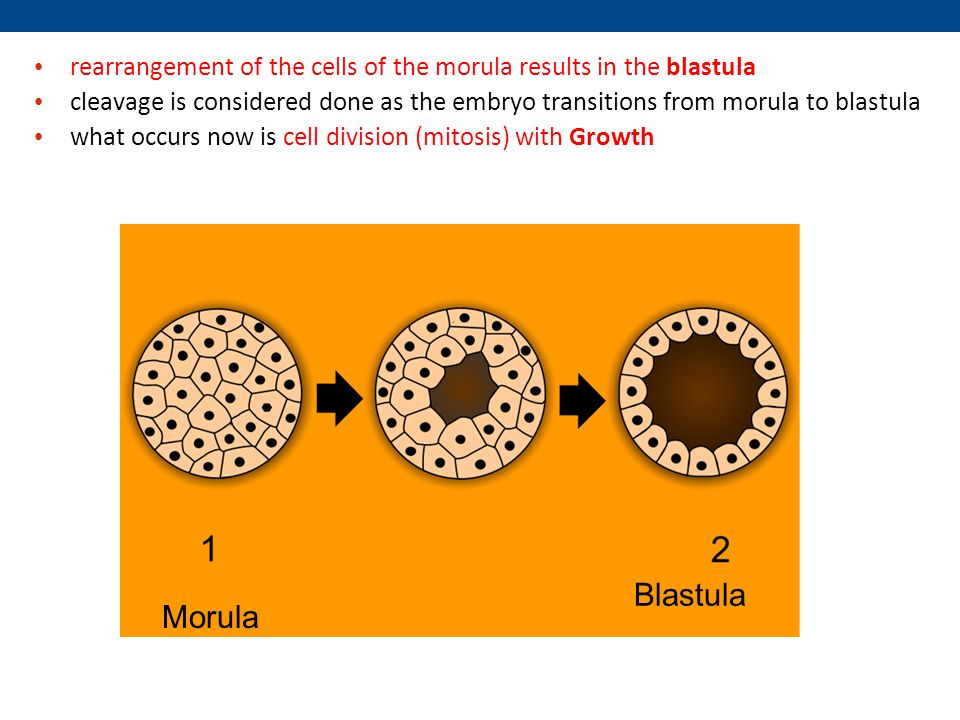 rearrangement of the cells of the morula results in the blastula