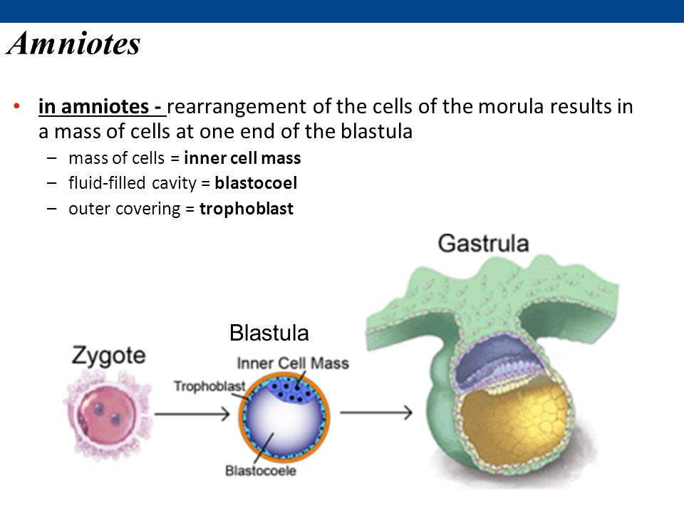 Amniotes in amniotes - rearrangement of the cells of the morula results in a mass of cells at one end of the blastula.