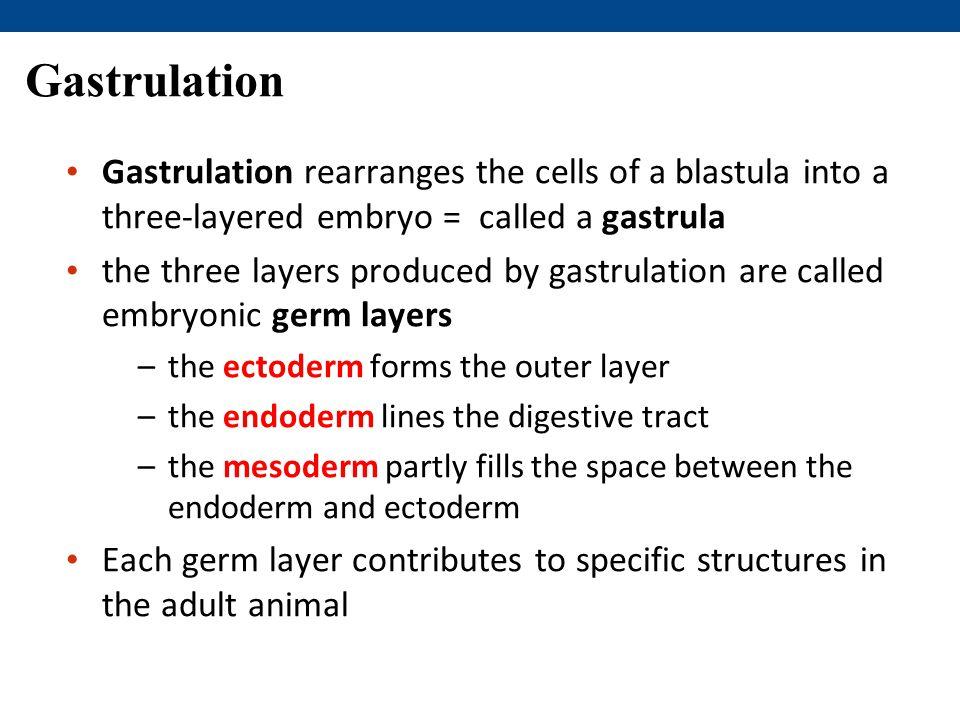 Gastrulation Gastrulation rearranges the cells of a blastula into a three-layered embryo = called a gastrula.