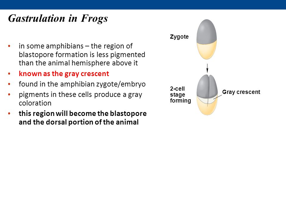 Gastrulation in Frogs Zygote. 2-cell stage forming. Gray crescent.
