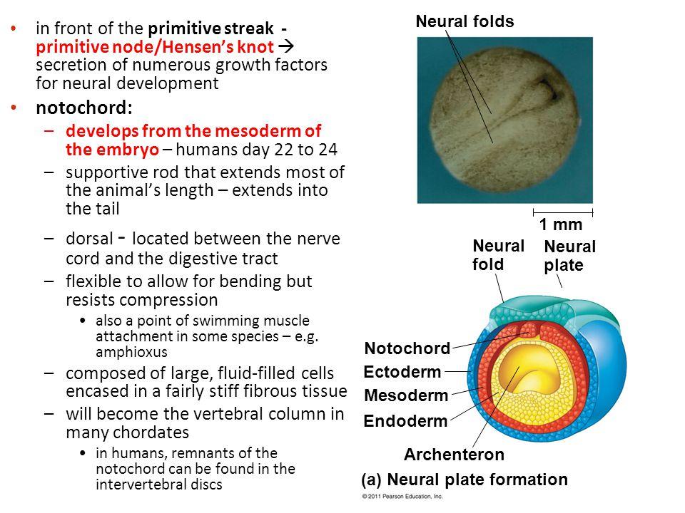 Neural folds 1 mm. Neural fold. Neural plate. Notochord. Ectoderm. Mesoderm. Endoderm. Archenteron.
