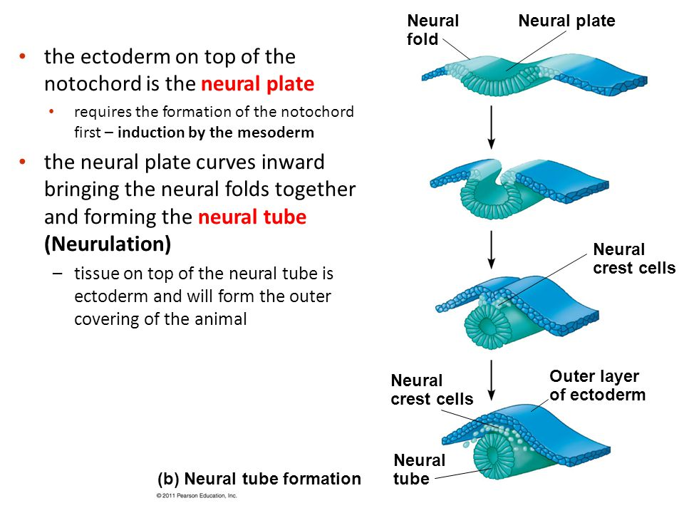 the ectoderm on top of the notochord is the neural plate