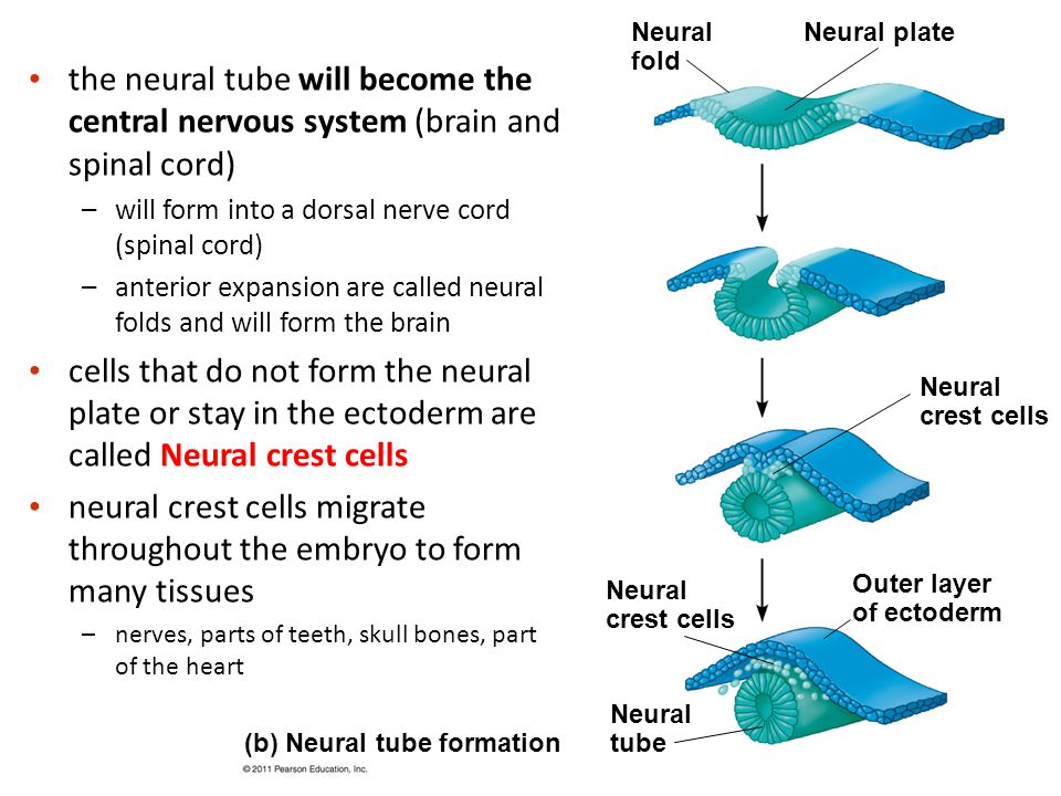 neural crest cells migrate throughout the embryo to form many tissues