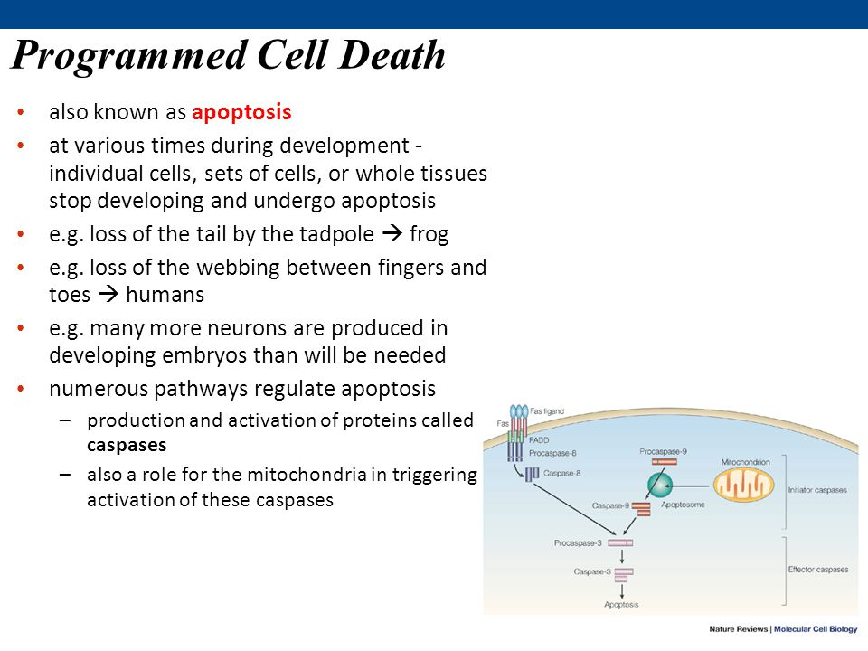 Programmed Cell Death also known as apoptosis