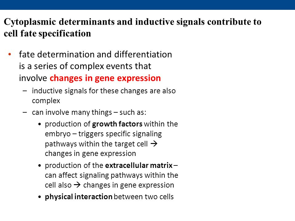 Cytoplasmic determinants and inductive signals contribute to cell fate specification