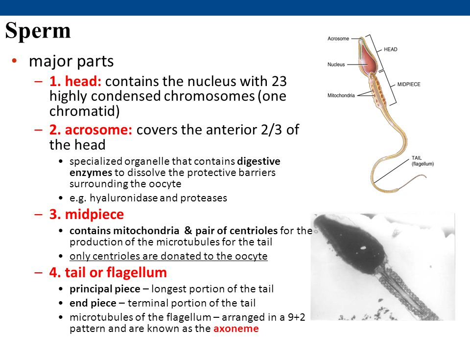 Sperm major parts. 1. head: contains the nucleus with 23 highly condensed chromosomes (one chromatid)
