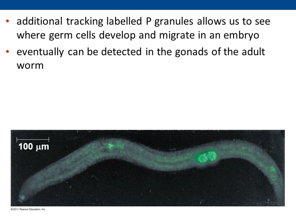 eventually can be detected in the gonads of the adult worm