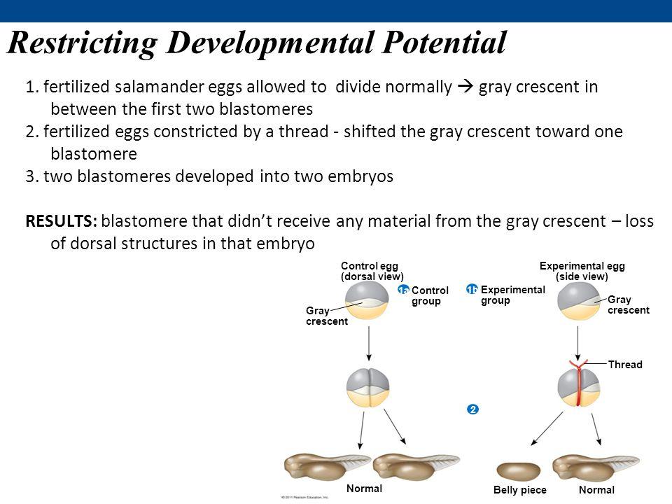 Restricting Developmental Potential