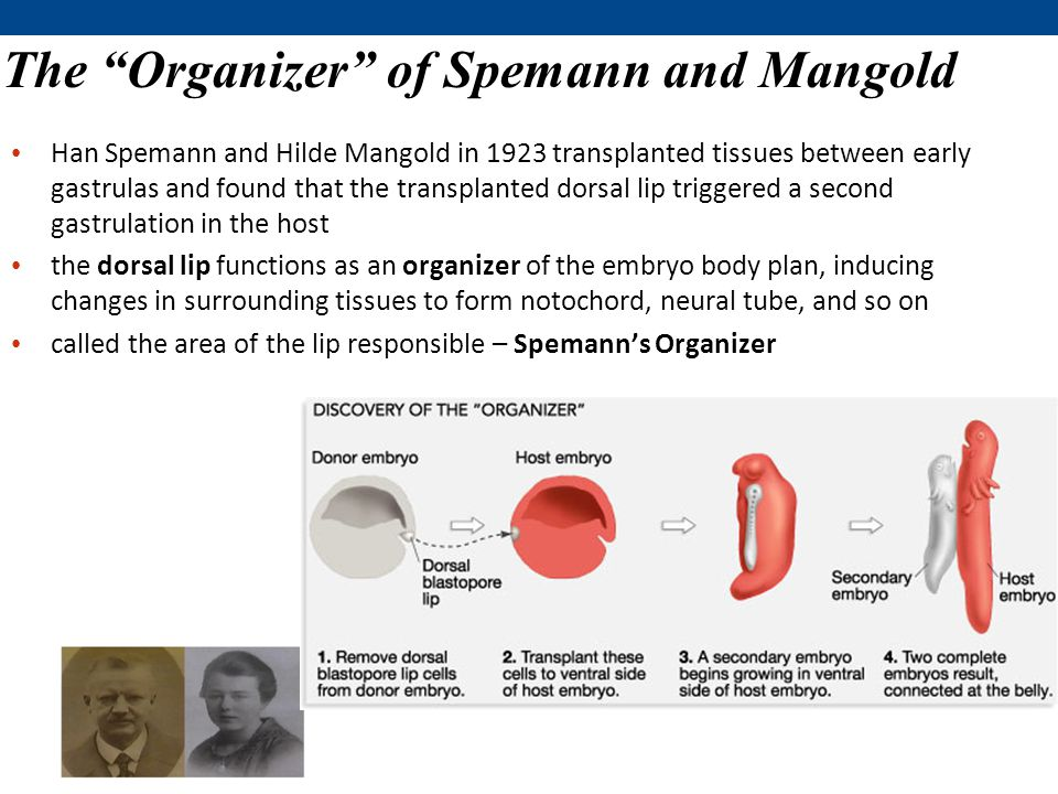 The Organizer of Spemann and Mangold