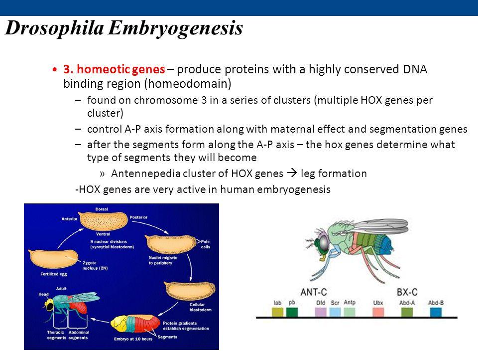 Drosophila Embryogenesis