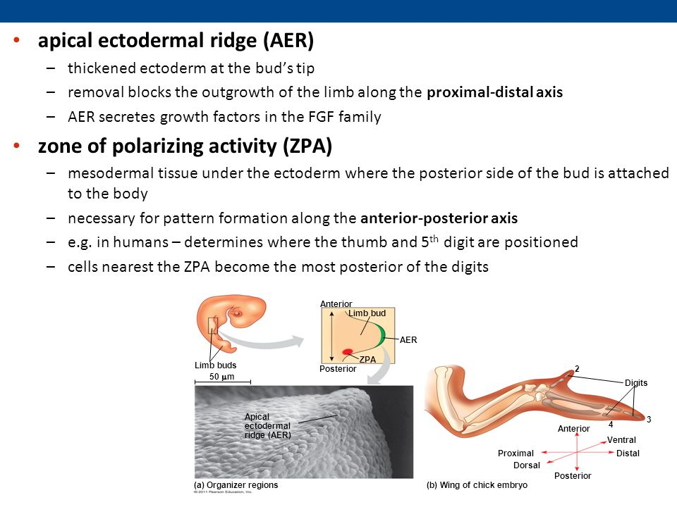 apical ectodermal ridge (AER)
