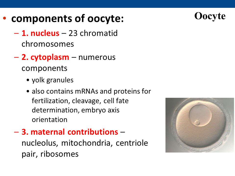 components of oocyte: Oocyte 1. nucleus – 23 chromatid chromosomes