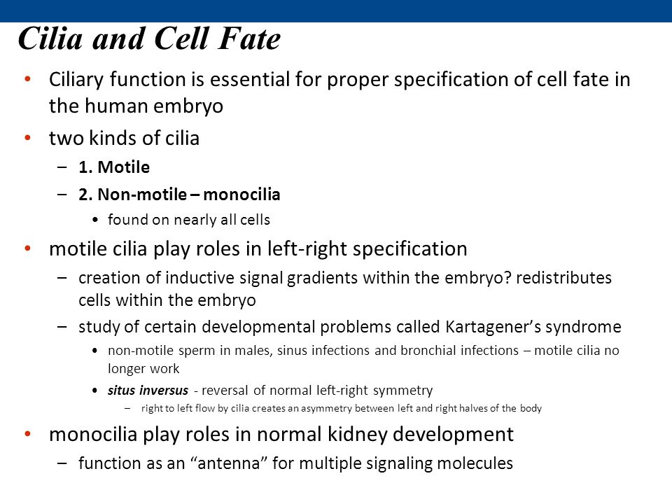 Cilia and Cell Fate Ciliary function is essential for proper specification of cell fate in the human embryo.