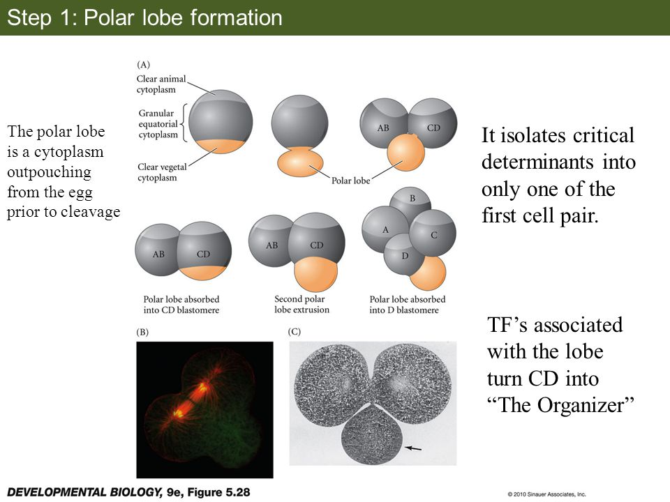 Step 1: Polar lobe formation