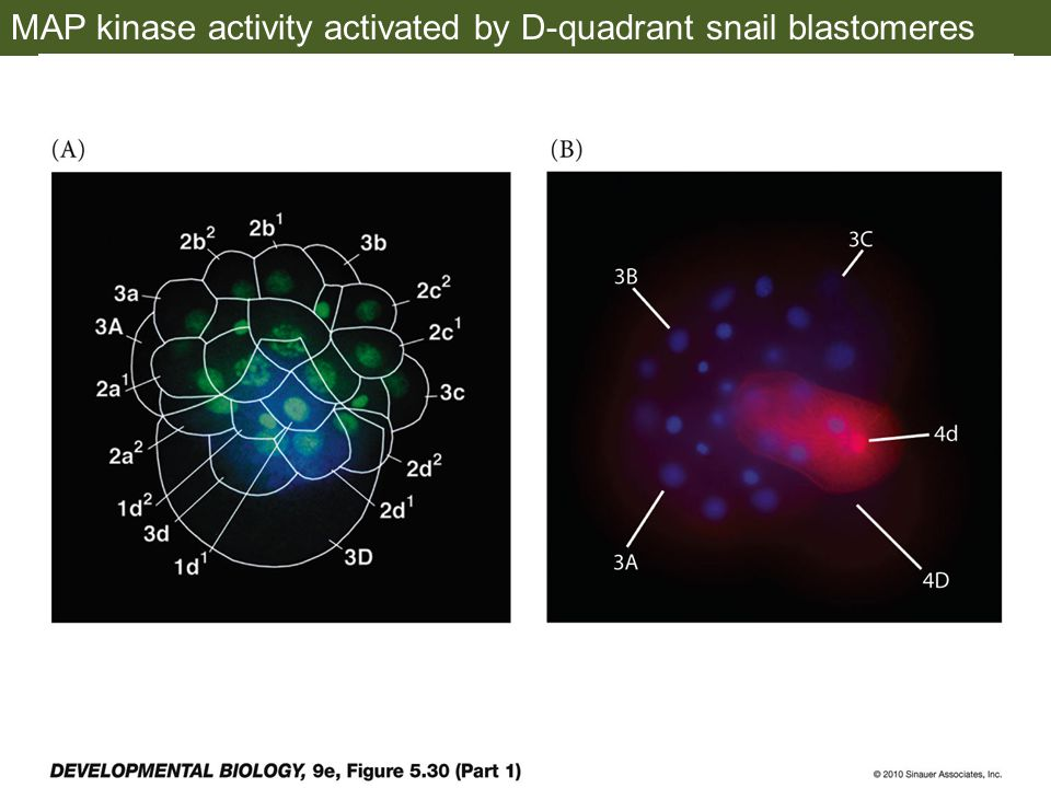 MAP kinase activity activated by D-quadrant snail blastomeres