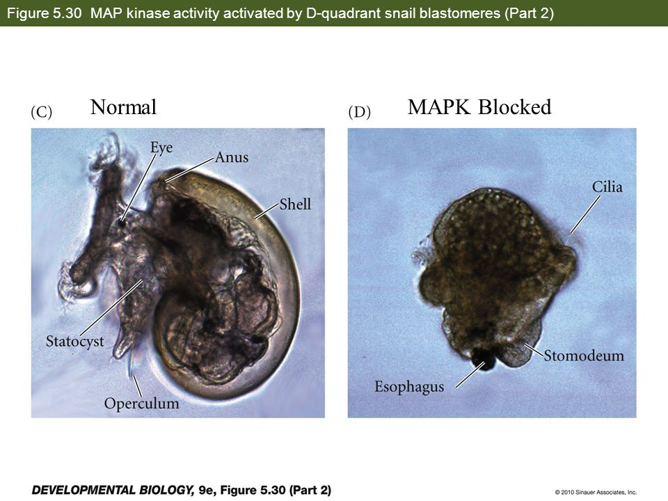 Figure 5.30 MAP kinase activity activated by D-quadrant snail blastomeres (Part 2)