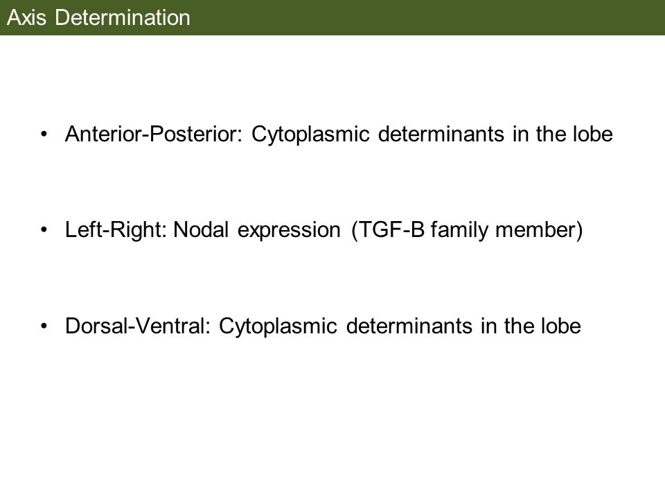 Axis Determination Anterior-Posterior: Cytoplasmic determinants in the lobe. Left-Right: Nodal expression (TGF-B family member)