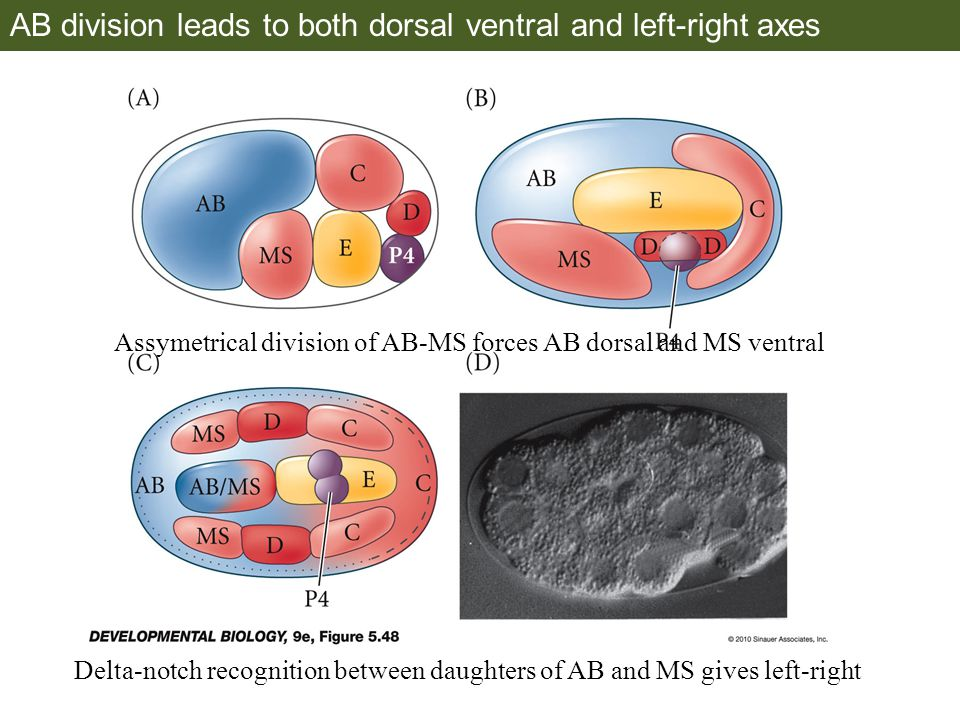AB division leads to both dorsal ventral and left-right axes
