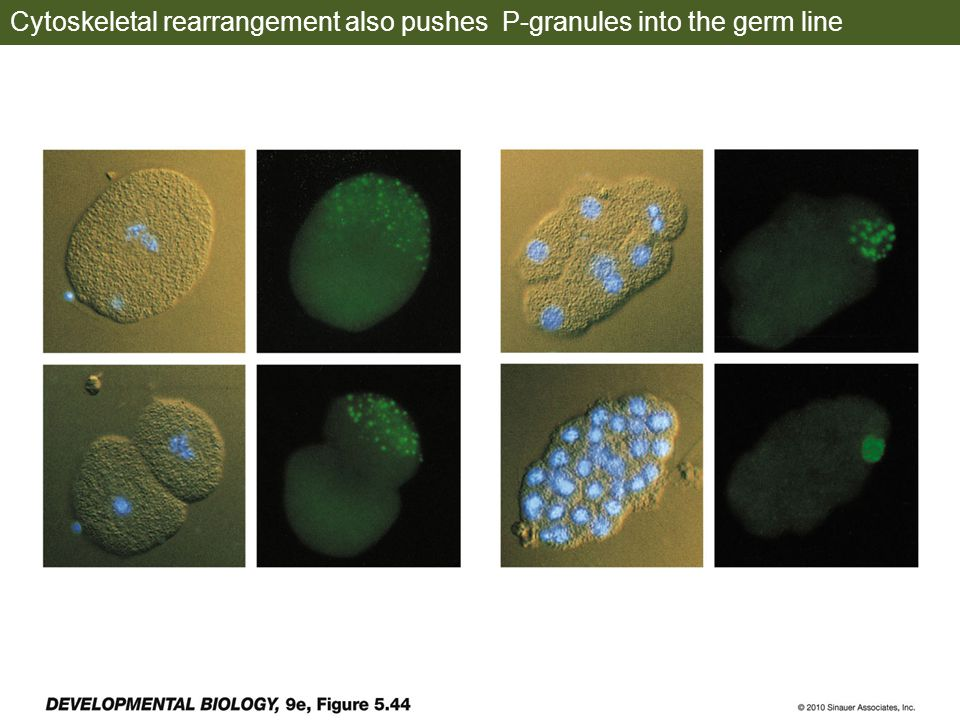 Cytoskeletal rearrangement also pushes P-granules into the germ line