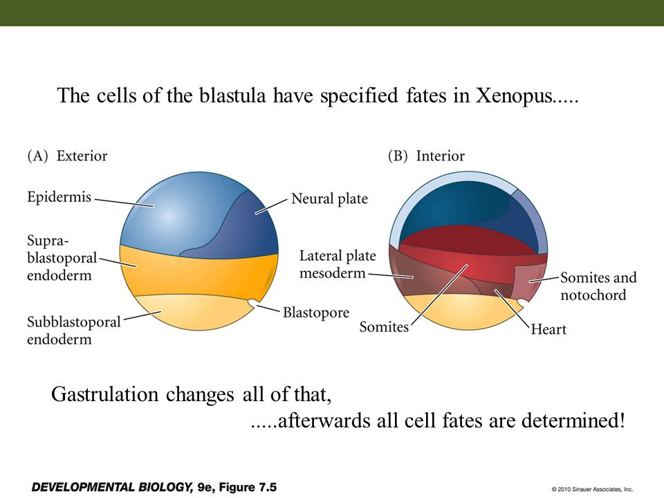 The cells of the blastula have specified fates in Xenopus.....