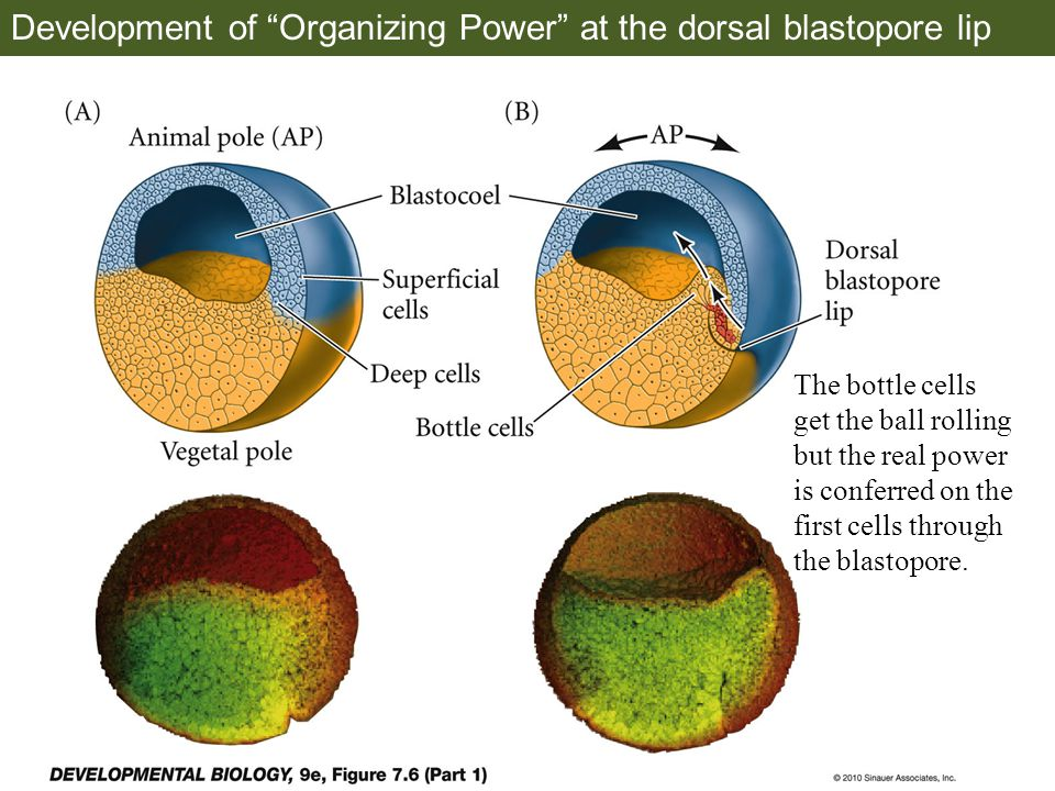 Development of Organizing Power at the dorsal blastopore lip