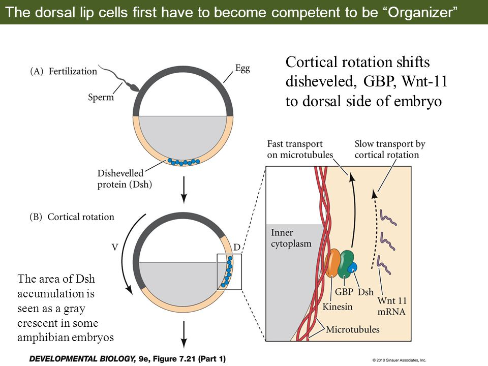 The dorsal lip cells first have to become competent to be Organizer