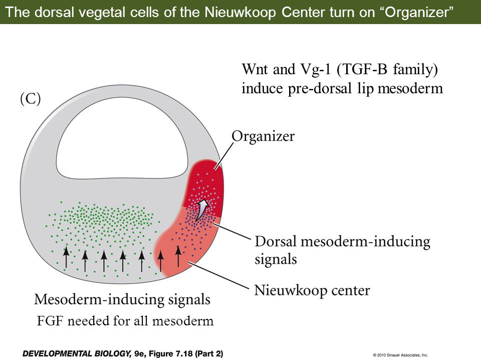 The dorsal vegetal cells of the Nieuwkoop Center turn on Organizer