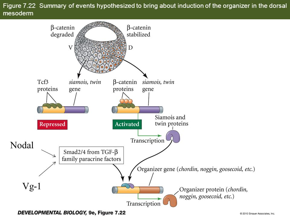 Figure 7.22 Summary of events hypothesized to bring about induction of the organizer in the dorsal mesoderm